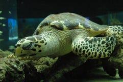 Tartaruga di mare verde dentro l'acquario fotografie stock libere da diritti