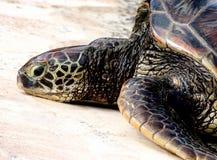 Tartaruga di mare verde di riposo Fotografia Stock Libera da Diritti