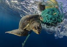 Tartaruga di mare verde, Galapagos Fotografie Stock Libere da Diritti