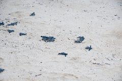 Tartaruga di mare verde giovanile Fotografia Stock Libera da Diritti