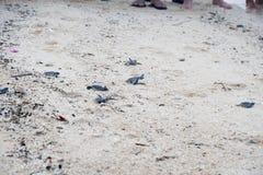 Tartaruga di mare verde giovanile Fotografie Stock