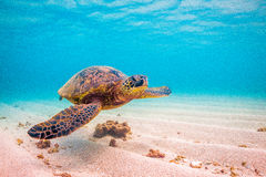 Tartaruga di mare verde hawaiana Fotografie Stock Libere da Diritti