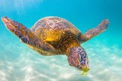 Tartaruga di mare verde hawaiana Immagini Stock Libere da Diritti