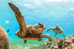 Tartaruga di mare verde hawaiana Fotografia Stock