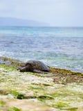Tartaruga di mare verde hawaiana alla riva del nord di Oahu Immagini Stock