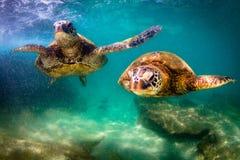 Tartaruga di mare verde hawaiana che gira nelle acque calde dell'oceano Pacifico Fotografia Stock