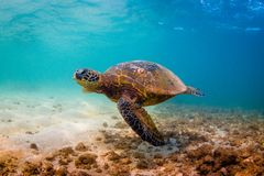 Tartaruga di mare verde hawaiana che gira nelle acque calde dell'oceano Pacifico Fotografia Stock Libera da Diritti
