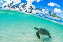 Tartaruga di mare verde hawaiana che gira nelle acque calde dell'oceano Pacifico Fotografie Stock