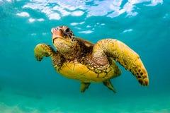 Tartaruga di mare verde hawaiana che gira nelle acque calde dell'oceano Pacifico Immagini Stock Libere da Diritti