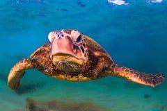 Tartaruga di mare verde hawaiana che gira nelle acque calde dell'oceano Pacifico Immagine Stock