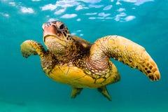 Tartaruga di mare verde hawaiana che gira nelle acque calde dell'oceano Pacifico Fotografie Stock Libere da Diritti
