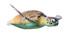 Tartaruga di mare verde isolata su fondo bianco immagini stock
