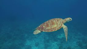 Tartaruga di mare verde 4k archivi video