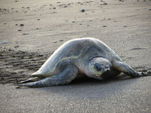 Tartaruga di mare verde oliva di Ridley Immagini Stock