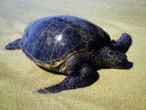 Tartaruga di mare verde orientale Fotografia Stock Libera da Diritti