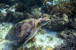 Tartaruga di mare verde sul fondo del mare subacqueo Natura tropicale dell'isola esotica Fotografie Stock Libere da Diritti