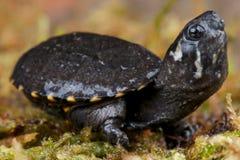 Tartaruga di muschio fotografie stock