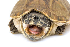 Tartaruga di muschio gigante messicana immagine stock