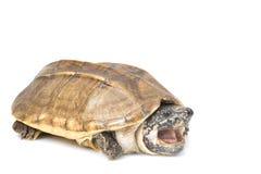 Tartaruga di muschio gigante messicana fotografia stock libera da diritti
