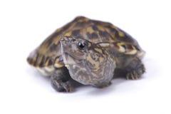 tartaruga di muschio Stretto-gettata un ponte su, triporcatus di Staurotypus fotografia stock