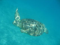 Tartaruga di nuoto Fotografie Stock