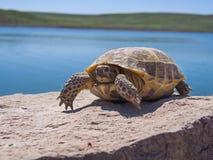 Tartaruga di riposo Immagine Stock Libera da Diritti