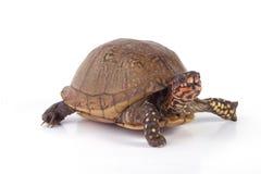 Tartaruga di scatola Immagini Stock Libere da Diritti