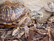 Tartaruga di scatola decorata Fotografie Stock