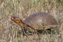 Tartaruga di scatola decorata di Oklahoma che cammina nella prateria Immagine Stock Libera da Diritti