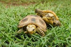Tartaruga di scatola su erba Fotografie Stock Libere da Diritti