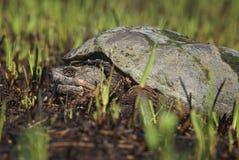Tartaruga di schiocco Fotografia Stock Libera da Diritti