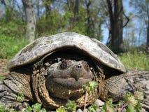 Tartaruga di schiocco Fotografie Stock