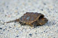 Tartaruga di schiocco Immagini Stock Libere da Diritti