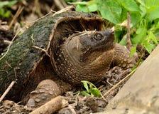 Tartaruga di schiocco Immagine Stock