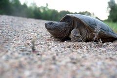 Tartaruga di schiocco che fa le uova Fotografia Stock