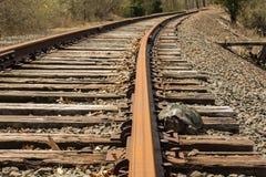 Tartaruga di schiocco che prova disperatamente ad attraversare le piste del treno Fotografia Stock Libera da Diritti