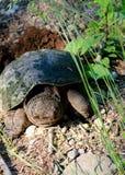 Tartaruga di schiocco (Chelydra Serpentina) Fotografie Stock