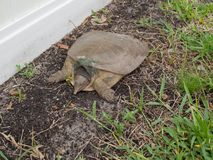 Tartaruga di schiocco Chillin Immagine Stock Libera da Diritti