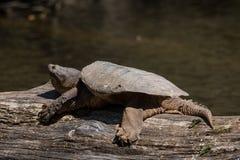 Tartaruga di schiocco comune immagine stock