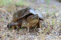 Tartaruga di schiocco comune, Georgia U.S.A. Immagine Stock Libera da Diritti