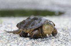 Tartaruga di schiocco comune, Georgia U.S.A. Fotografie Stock