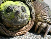 Tartaruga di schiocco comune (serpentina del Chelydra) Fotografia Stock Libera da Diritti