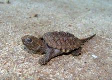 Tartaruga di schiocco comune, serpentina del Chelydra Immagini Stock Libere da Diritti