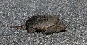 Tartaruga di schiocco comune sulla strada Immagini Stock Libere da Diritti
