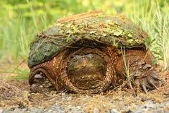 Tartaruga di schiocco con residui sulle coperture Fotografia Stock Libera da Diritti