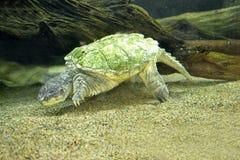 Tartaruga di schiocco del coccodrillo Fotografie Stock
