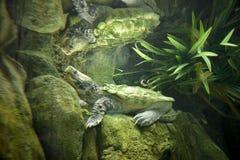 Tartaruga di schiocco del coccodrillo Fotografia Stock Libera da Diritti