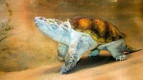 Tartaruga di schiocco del coccodrillo Fotografia Stock