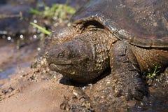 Tartaruga di schiocco dell'alligatore americano in fango Fotografie Stock Libere da Diritti