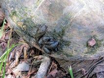 Tartaruga di schiocco dell'alligatore con le liscivie Fotografia Stock